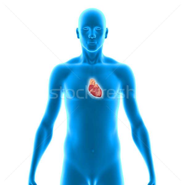 Humanismo coração muscular órgão outro animais Foto stock © 7activestudio