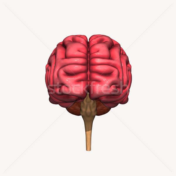Cérebro órgão centro sistema nervoso vertebrado Foto stock © 7activestudio
