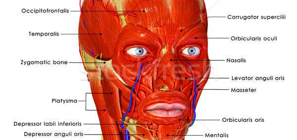 Face muscles Stock photo © 7activestudio