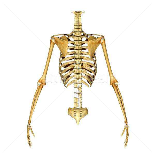 Skeleton Stock photo © 7activestudio