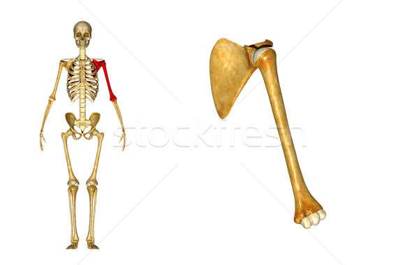 анатомии плечо лезвия кость руки стороны Сток-фото © 7activestudio