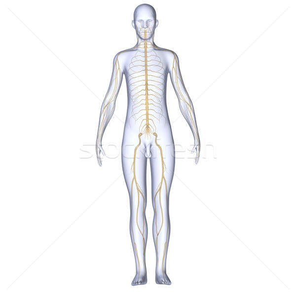 Body with Arteries Stock photo © 7activestudio