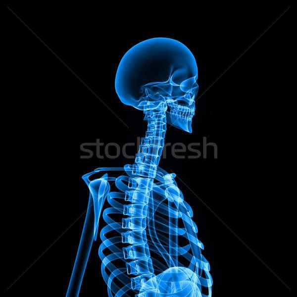 Iskelet insan iç vücut kemikleri Stok fotoğraf © 7activestudio