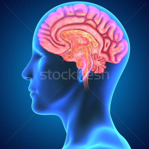 Mózgu organ centrum układ nerwowy kręgowiec Zdjęcia stock © 7activestudio