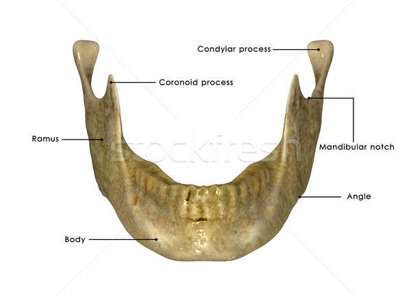 Skeleton jaw Stock photo © 7activestudio