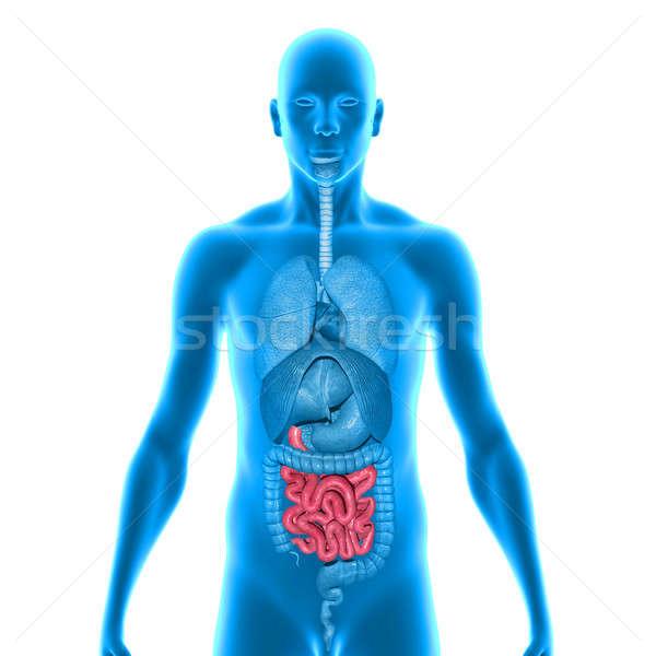 Сток-фото: небольшой · кишечник · желудка · большой · пищеварение · продовольствие
