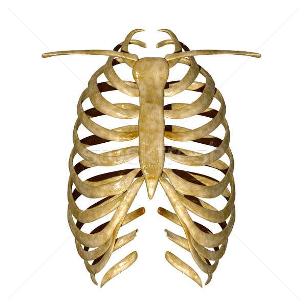 Costola gabbia ossa tutti vertebrati Foto d'archivio © 7activestudio
