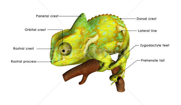 Chameleon Stock photo © 7activestudio