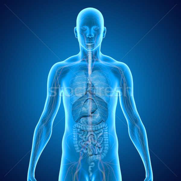 Emberi szervek test struktúra fej nyak Stock fotó © 7activestudio
