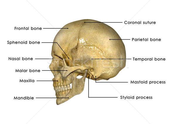 Emberi koponya struktúra fej csontváz arc Stock fotó © 7activestudio