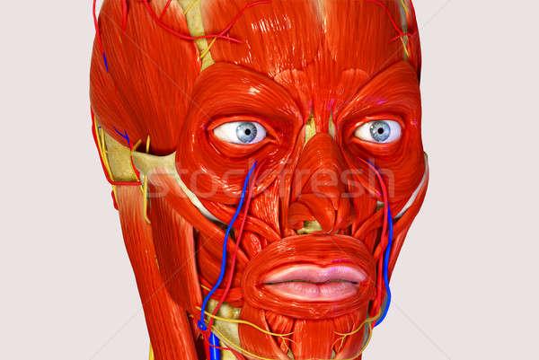 Izmok bőr irányítás arckifejezés felület koponya Stock fotó © 7activestudio