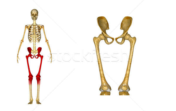 Pelvic hip with legs Stock photo © 7activestudio