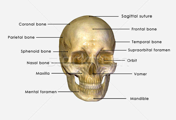 Stock fotó: Emberi · koponya · struktúra · fej · csontváz · arc