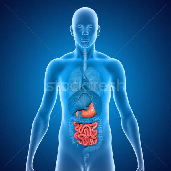 Human Organs Stock photo © 7activestudio