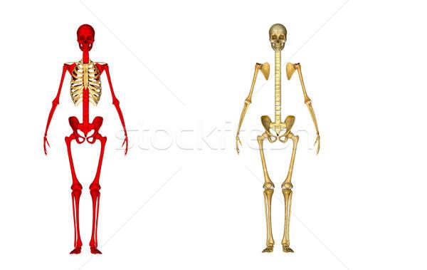 Skeleton Stock photo © 7activestudio