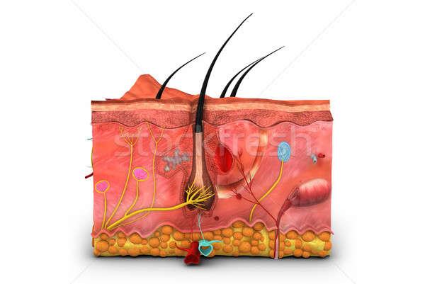 Foto stock: Humanos · piel · cuerpo · órgano