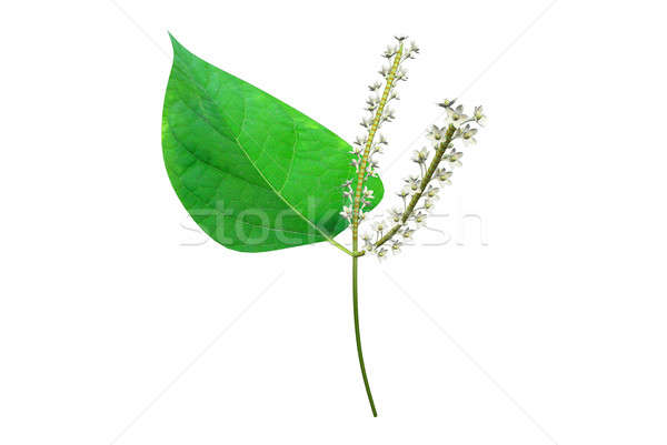 polygonum Stock photo © 7activestudio