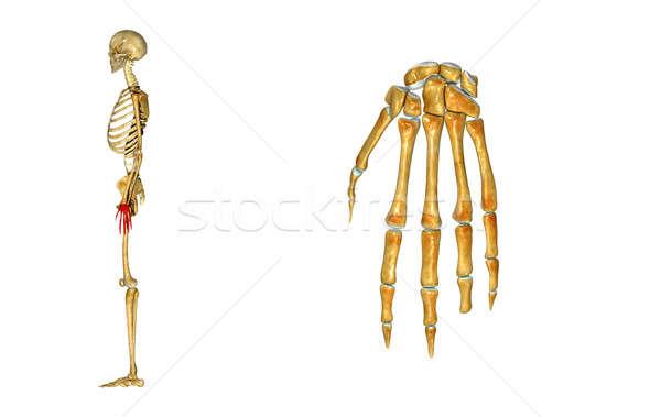 Csontváz csukló emberi anatómia csontok összetett nyolc Stock fotó © 7activestudio