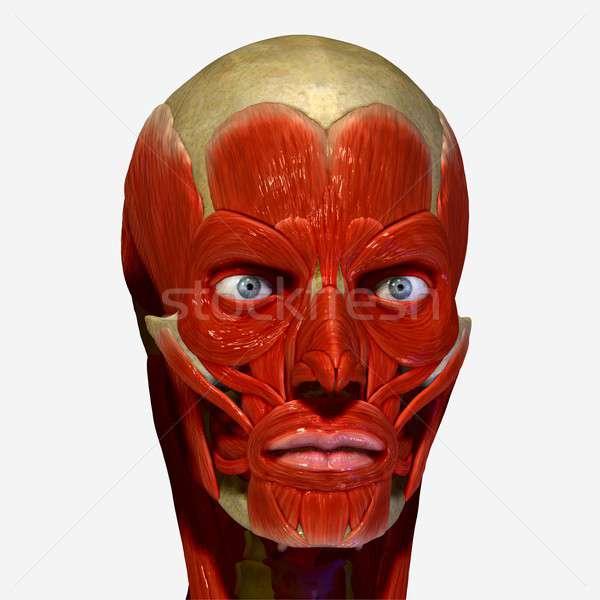 筋肉 皮膚 制御 表情 表面 頭蓋骨 ストックフォト © 7activestudio