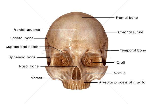 Skull Stock photo © 7activestudio