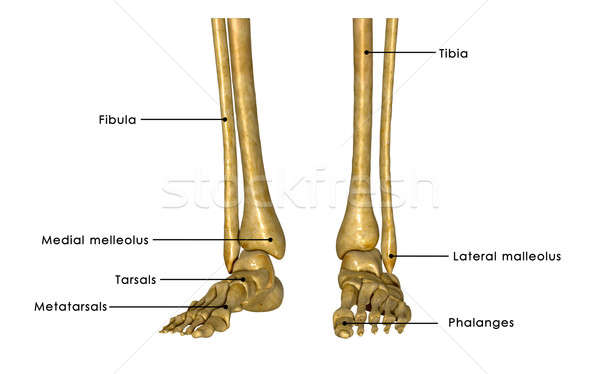 Skeleton legs Stock photo © 7activestudio