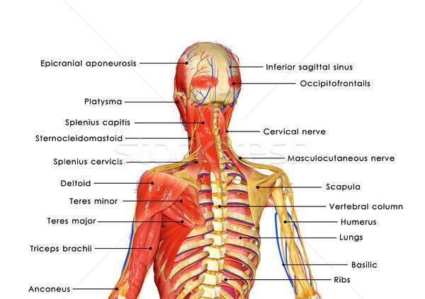 Iskelet kaslar kas form kontrol Stok fotoğraf © 7activestudio