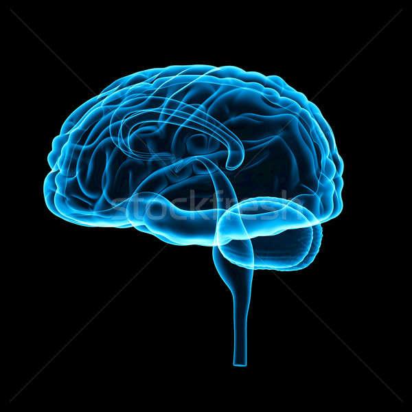 Brain Stock photo © 7activestudio