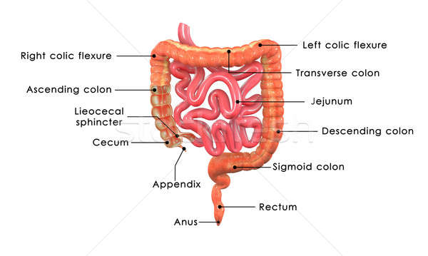 Stock photo: Small and large intestine