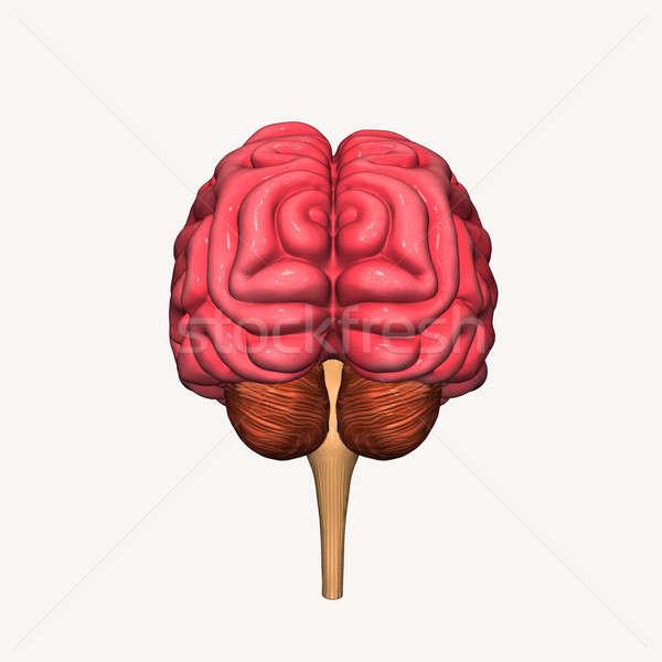 Beyin organ sinir sistemi tüm omurgalı Stok fotoğraf © 7activestudio
