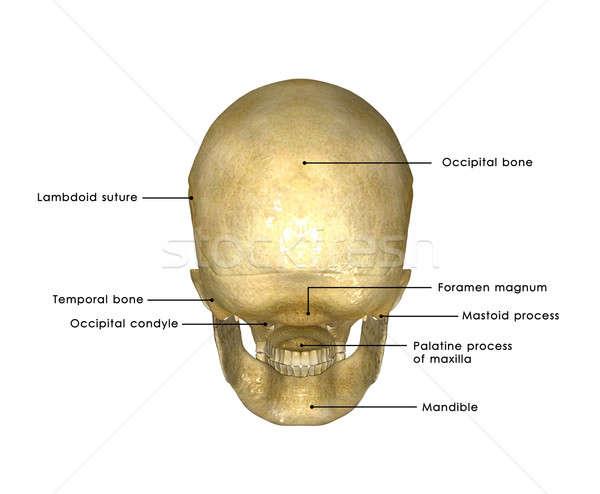 Zdjęcia stock: Ludzi · czaszki · struktury · głowie · szkielet · twarz