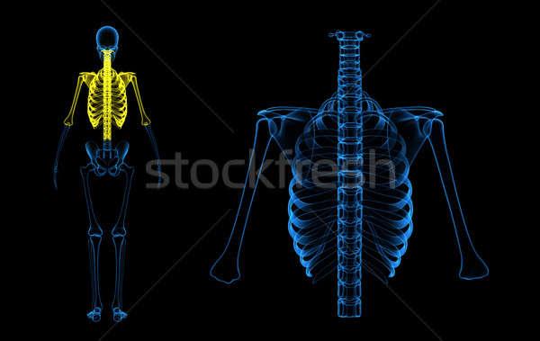 Csontváz struktúra test élet konzerv bent Stock fotó © 7activestudio
