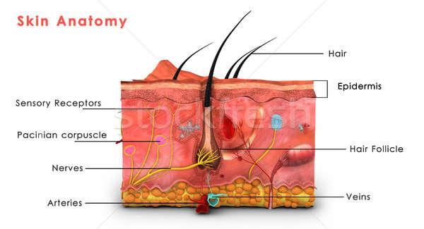 Pelle anatomia soft esterno vertebrati altro Foto d'archivio © 7activestudio