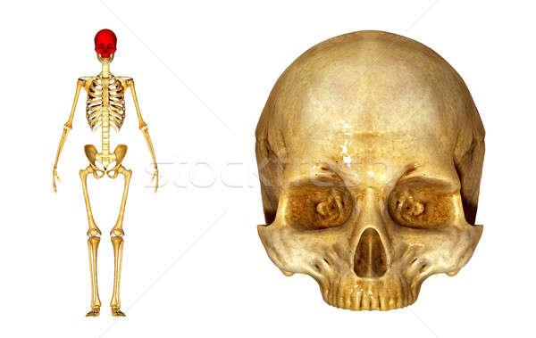 human skull Stock photo © 7activestudio
