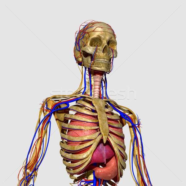 Menselijke lichaam structuur hoofd nek Stockfoto © 7activestudio
