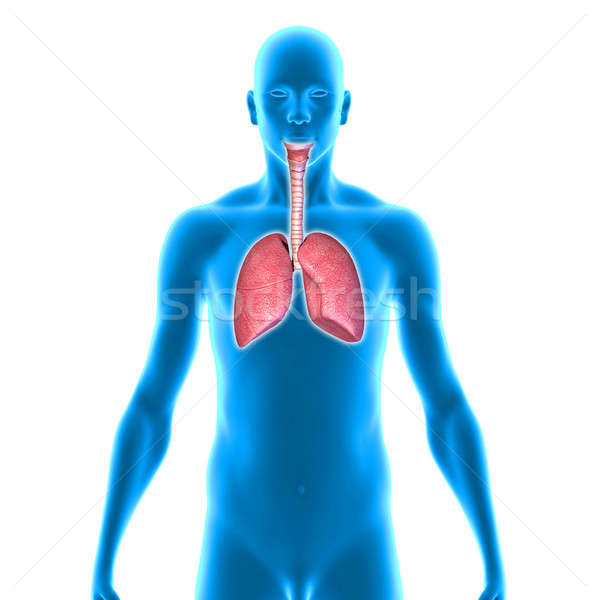 Lungs Stock photo © 7activestudio