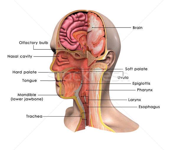 face anatomy labelled Stock photo © 7activestudio