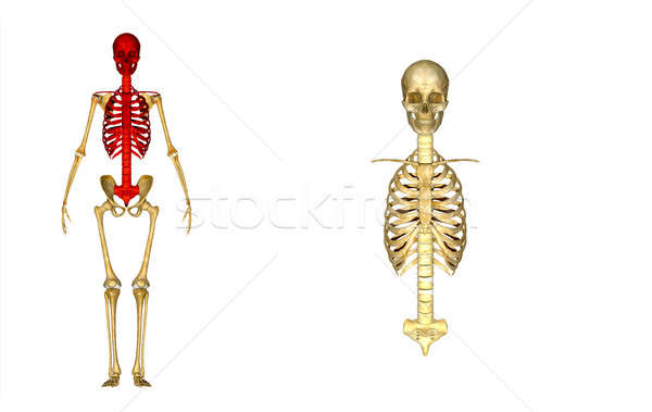 Skull with ribs Stock photo © 7activestudio