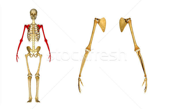 Anatomie épaule lame osseuse bras comme Photo stock © 7activestudio