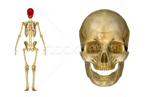 череп структуры голову позвоночных лице Сток-фото © 7activestudio