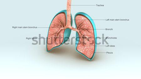 人間 2 右 肺 3 ストックフォト © 7activestudio