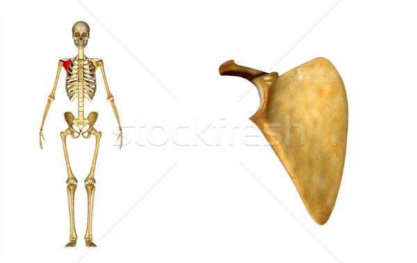 анатомии плечо лезвия кость руки модель Сток-фото © 7activestudio