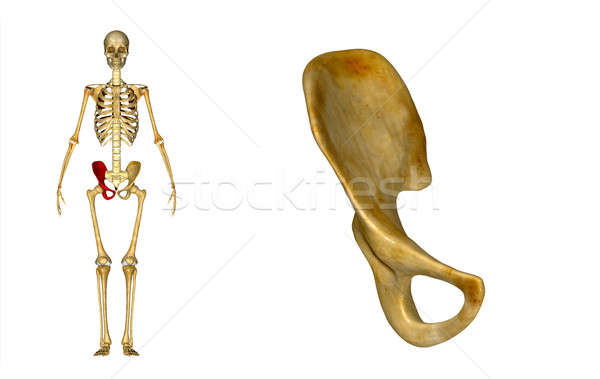 Quadril anatomia humana baixar abdômen região Foto stock © 7activestudio