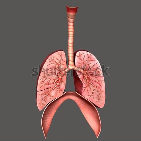 Ludzi dwa płuco trzy Zdjęcia stock © 7activestudio