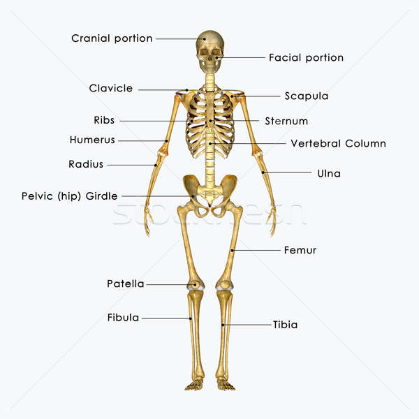 human skeleton Stock photo © 7activestudio