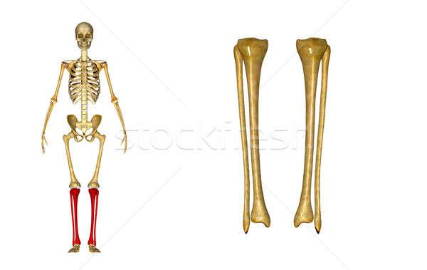 Hosszú csont kar váll könyök kettő Stock fotó © 7activestudio