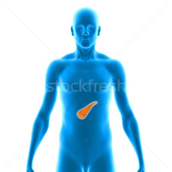 Orgona emésztőrendszer gerincesek abdominális üreg mögött Stock fotó © 7activestudio