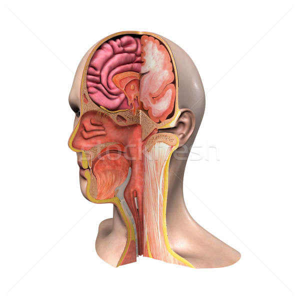 face anatomy Stock photo © 7activestudio