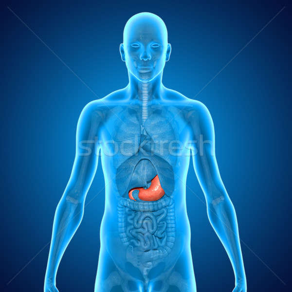 Stomach Stock photo © 7activestudio