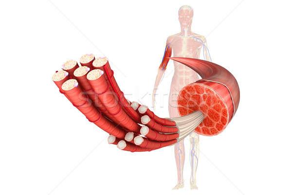 Muscle Anatomy Stock photo © 7activestudio