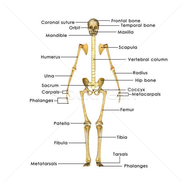 Csontváz görög aszalt testrész struktúra organizmus Stock fotó © 7activestudio